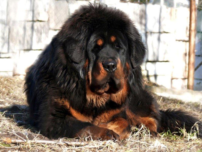 самая большие собаки в мире фото