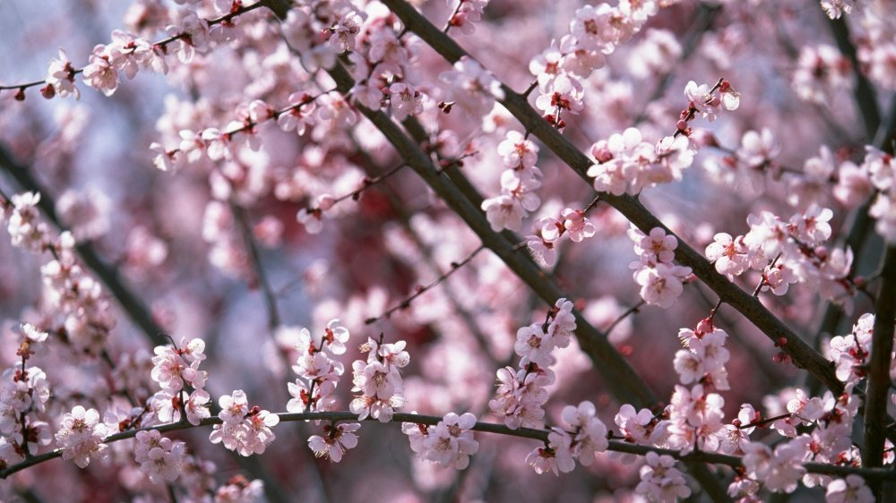 Цветущая сакура в Японии (фото ...: ikpik.ru/850-cvetuschaya-sakura-v-yaponii-foto.html